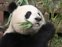 Bamboo Diet,  ©gill_penney/Flickr