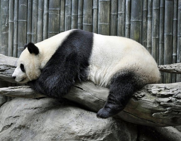 Giant Panda,  ©warriorwoman531/Flickr